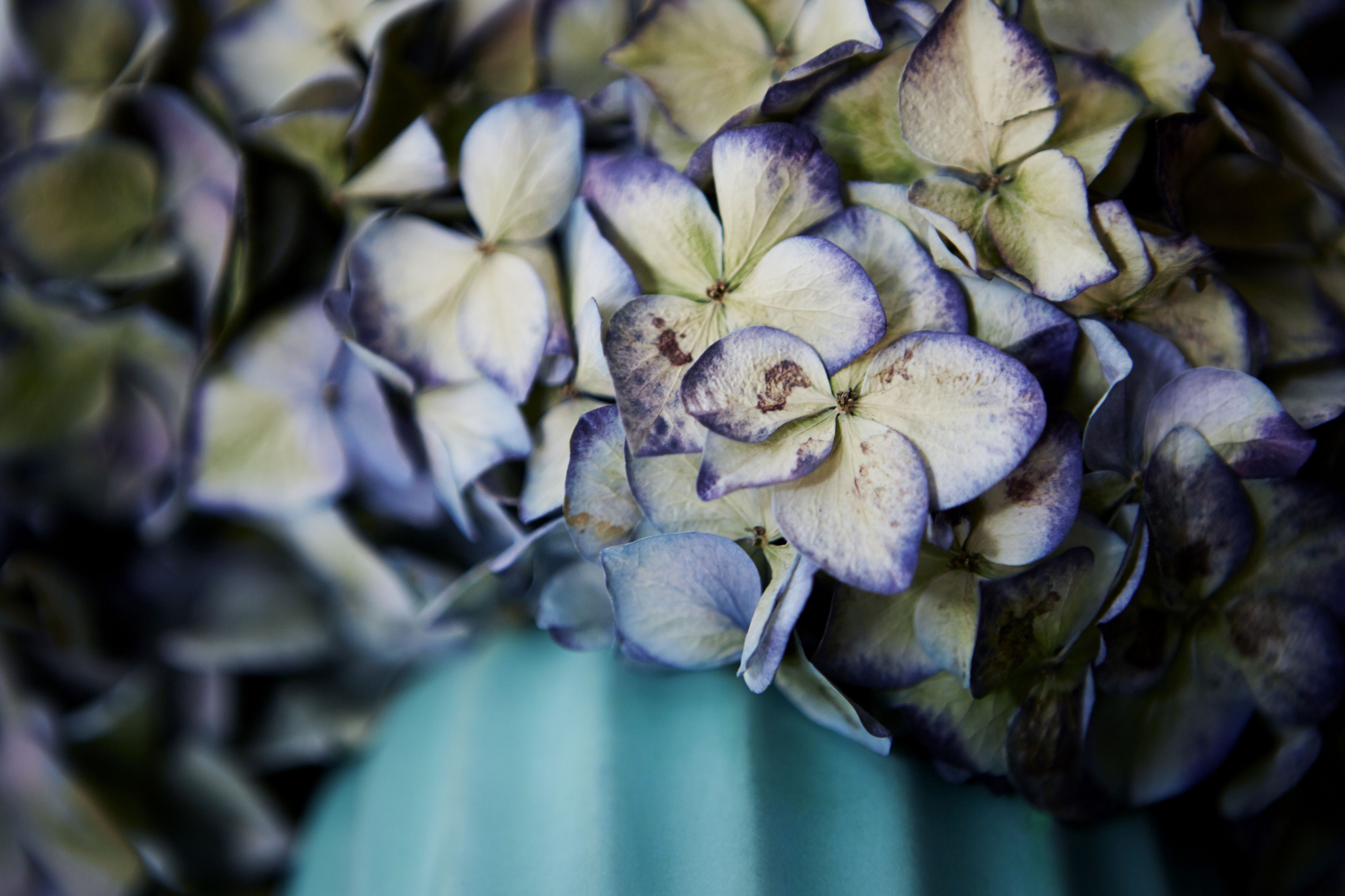 antique auto bud vases of how to dry and preserve hydrangea flowers for dried hortensia in vase close up 495801659 5b16c97e8e1b6e00369b13ec