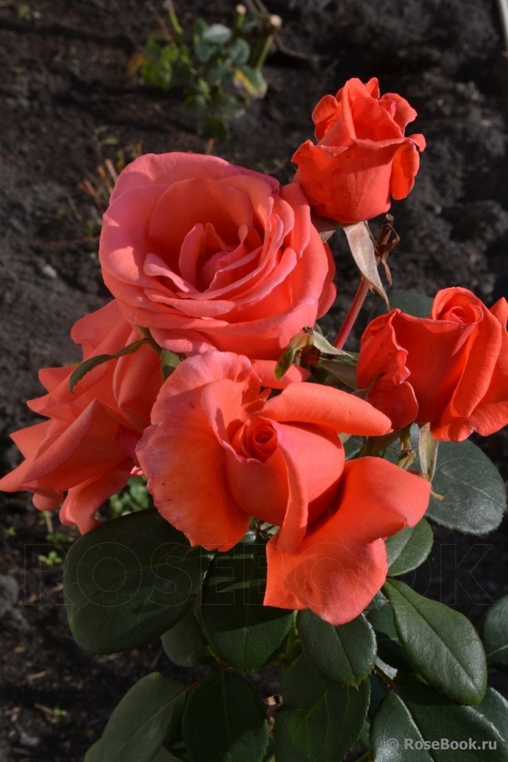 baccarat harmonie bud vase of 638 best n€d¾d·n‹ images on pinterest beautiful roses all flowers and for harmonie hybrid tea rose kordes germany 1981
