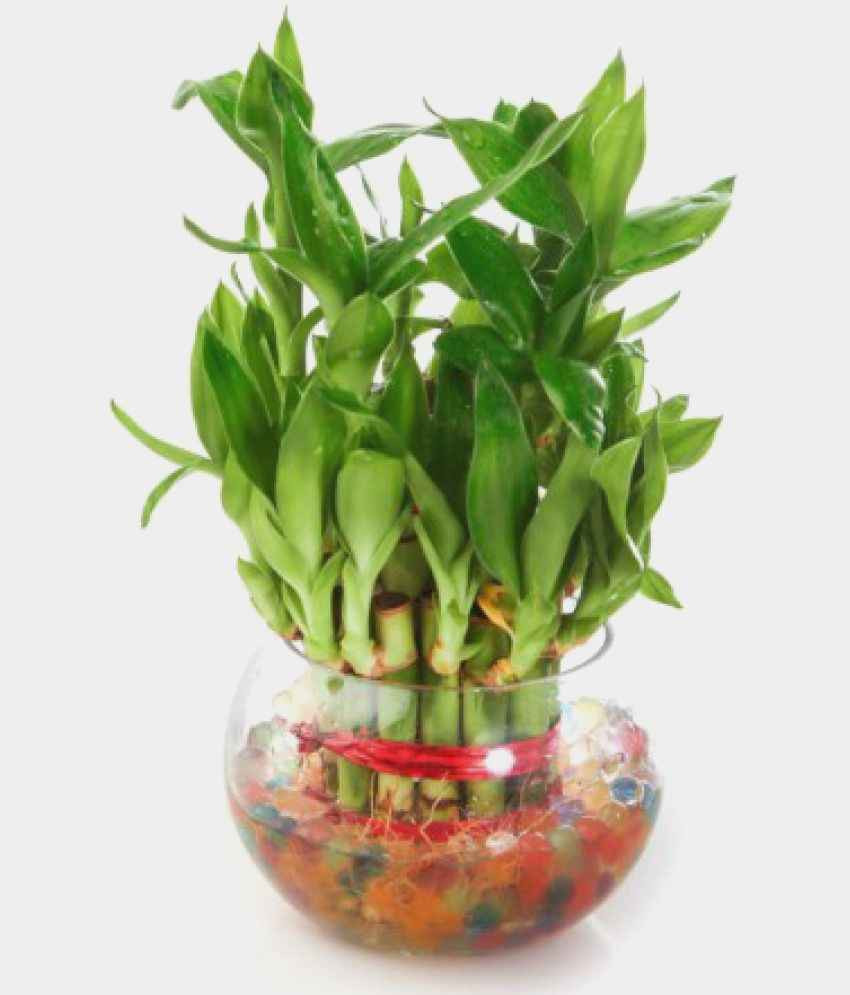 bamboo plant with elephant vase of beautiful indoor bamboo plants plant directory pertaining to green plant indoor 2 layer lucky bamboo plants indoor bamboo plant