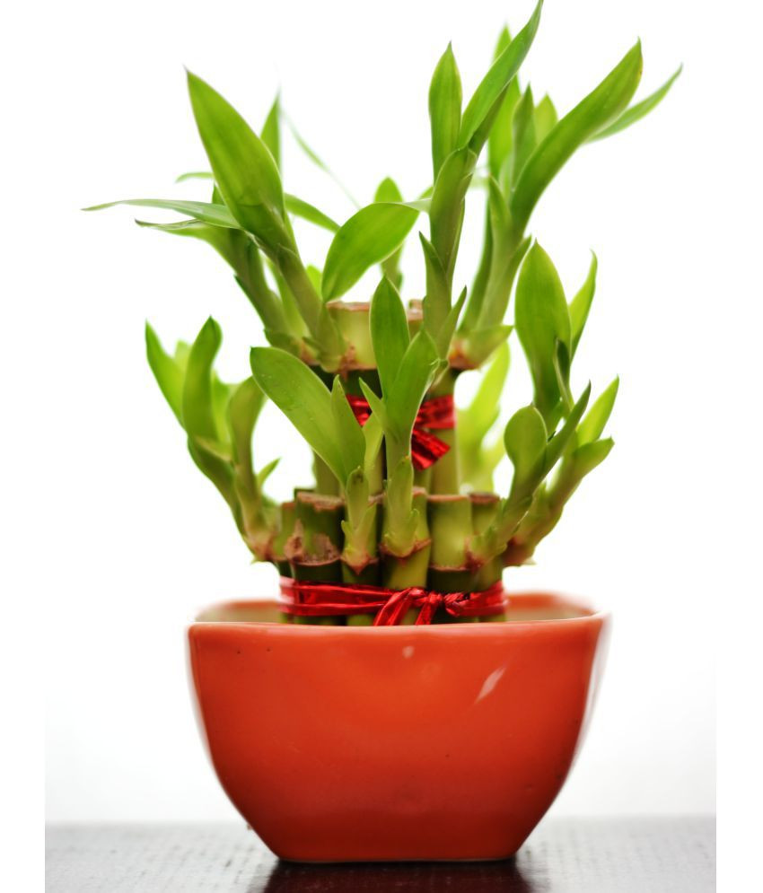 bamboo vases online india of green plant indoor 2 layer lucky bamboo plant with ceramic pot with regard to green plant indoor 2 layer lucky bamboo plant with ceramic pot indoor bamboo plant