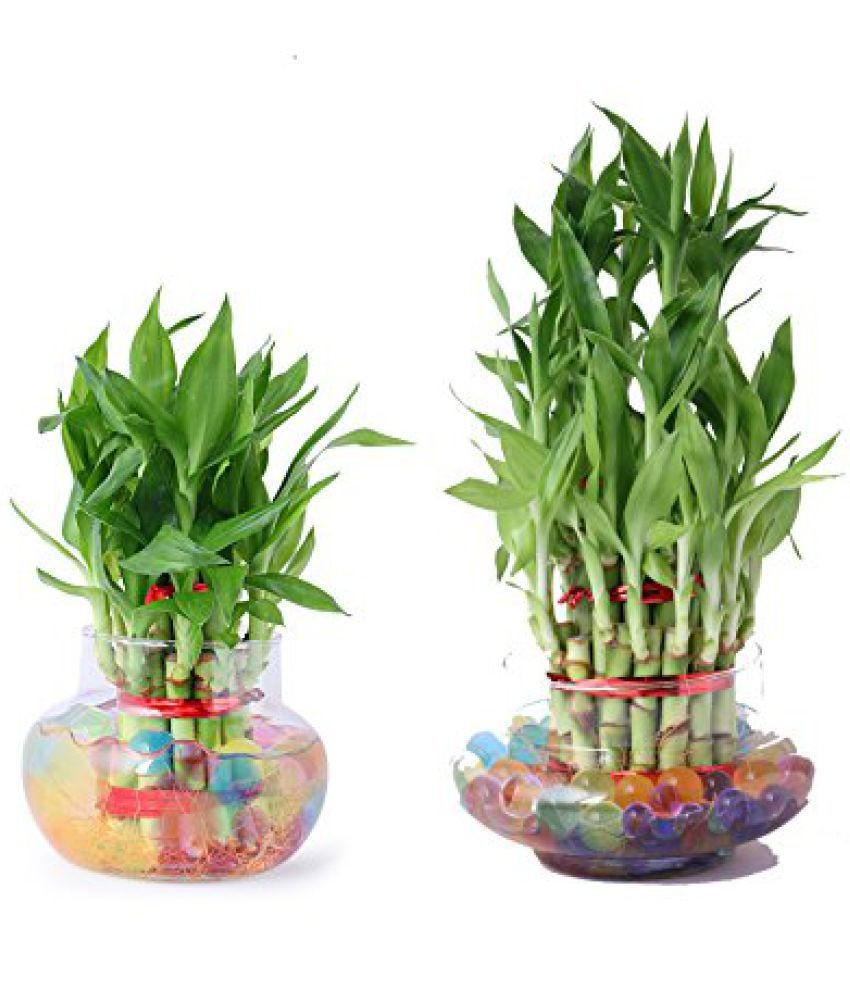Bamboo Vases Online India Of Green Plant Indoor 3 2 Layer Lucky Bamboo Plants Indoor Bamboo for Green Plant Indoor 3 2 Layer Lucky Bamboo Plants Indoor Bamboo Plant