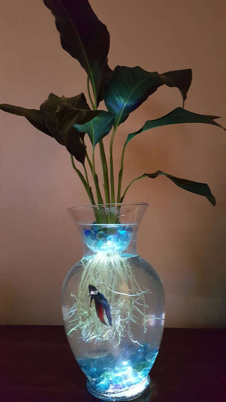 betta fish and plant vase of beta fish tank with live peace lily lighted symbiotic and etsy regarding image 0