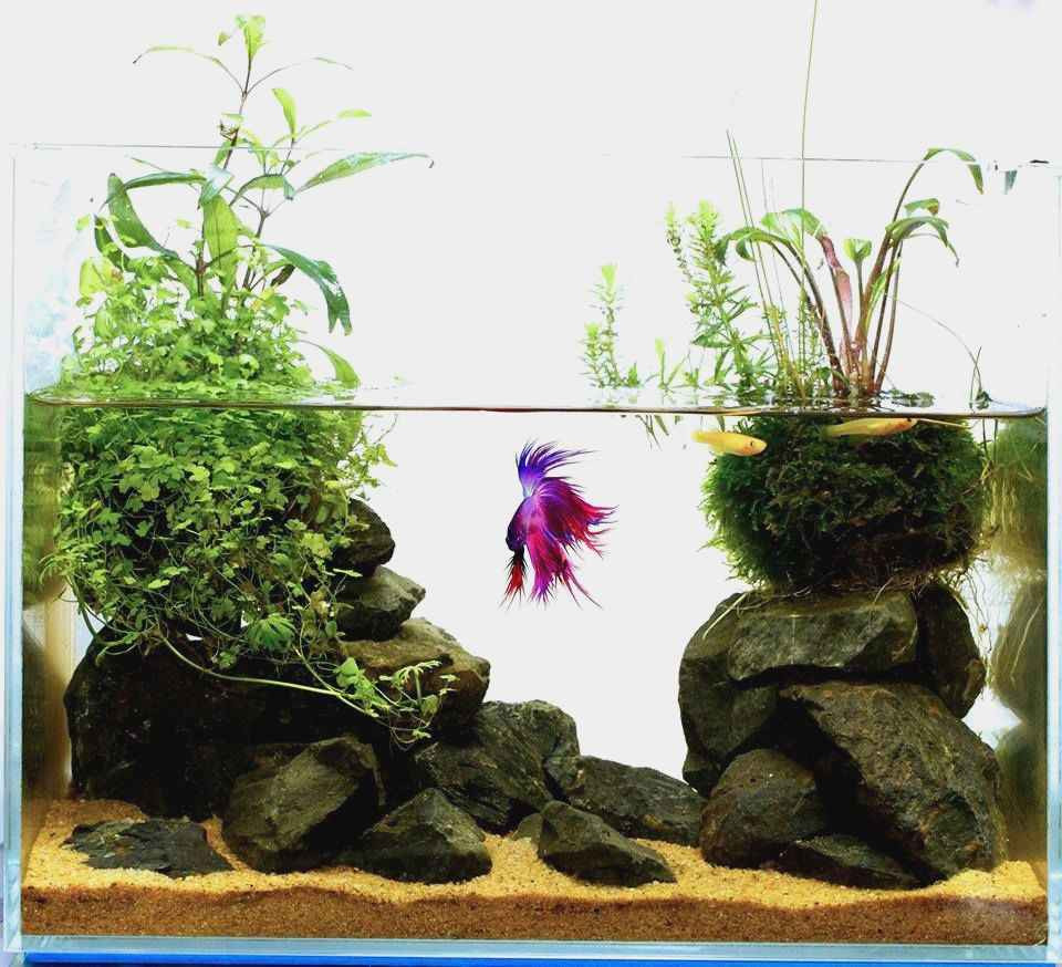betta fish plant vase of fresh best plants for betta plant directory regarding possibly the best betta home you see today