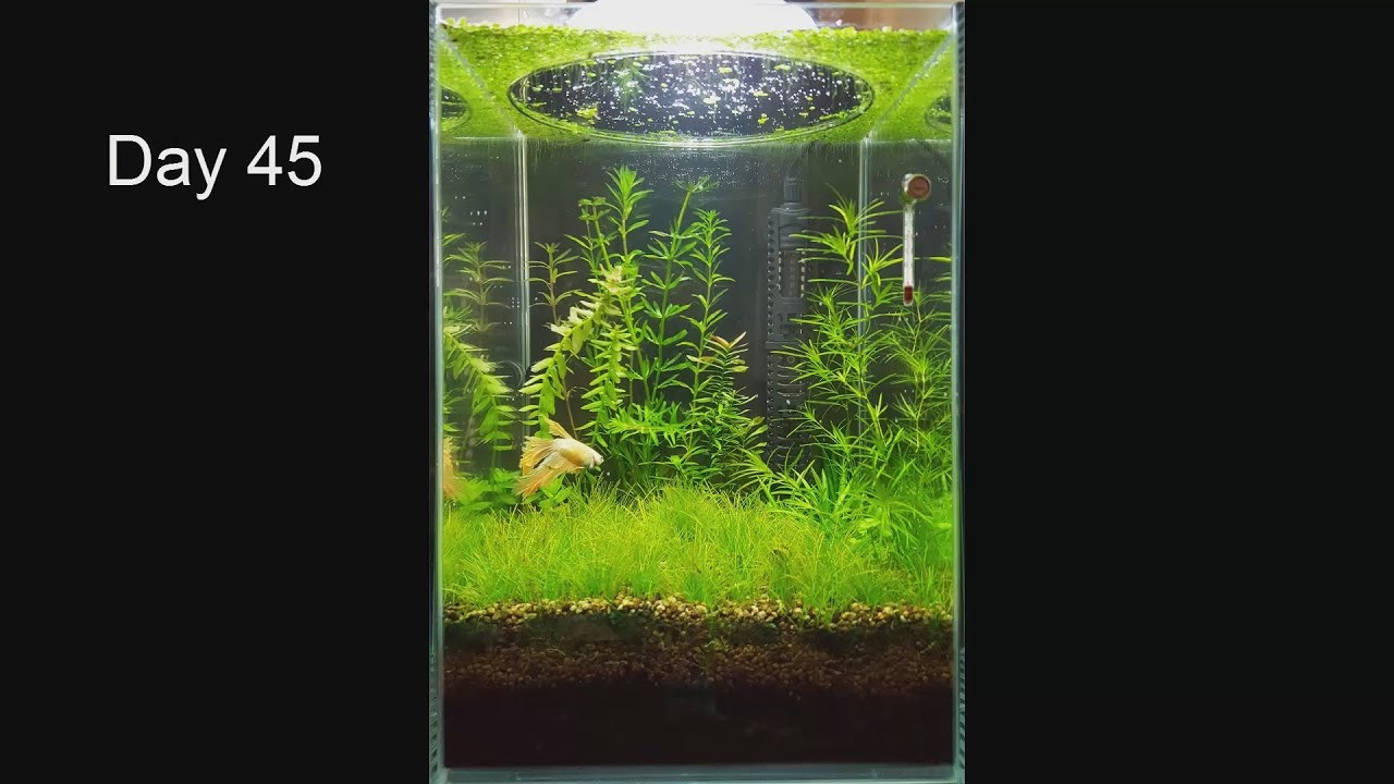 betta fish plant vase of no filter no co2 no ferts mini planted tank 2 months progress in no filter no co2 no ferts mini planted tank 2 months progress youtube