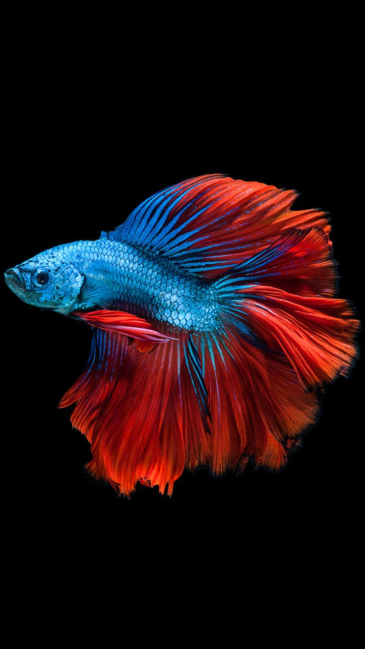 betta vase kit of 100 best betta fish images on pinterest betta fish aquarium fish for apple iphone 6s wallpaper with red and blue betta fish and dark background in 750x1334