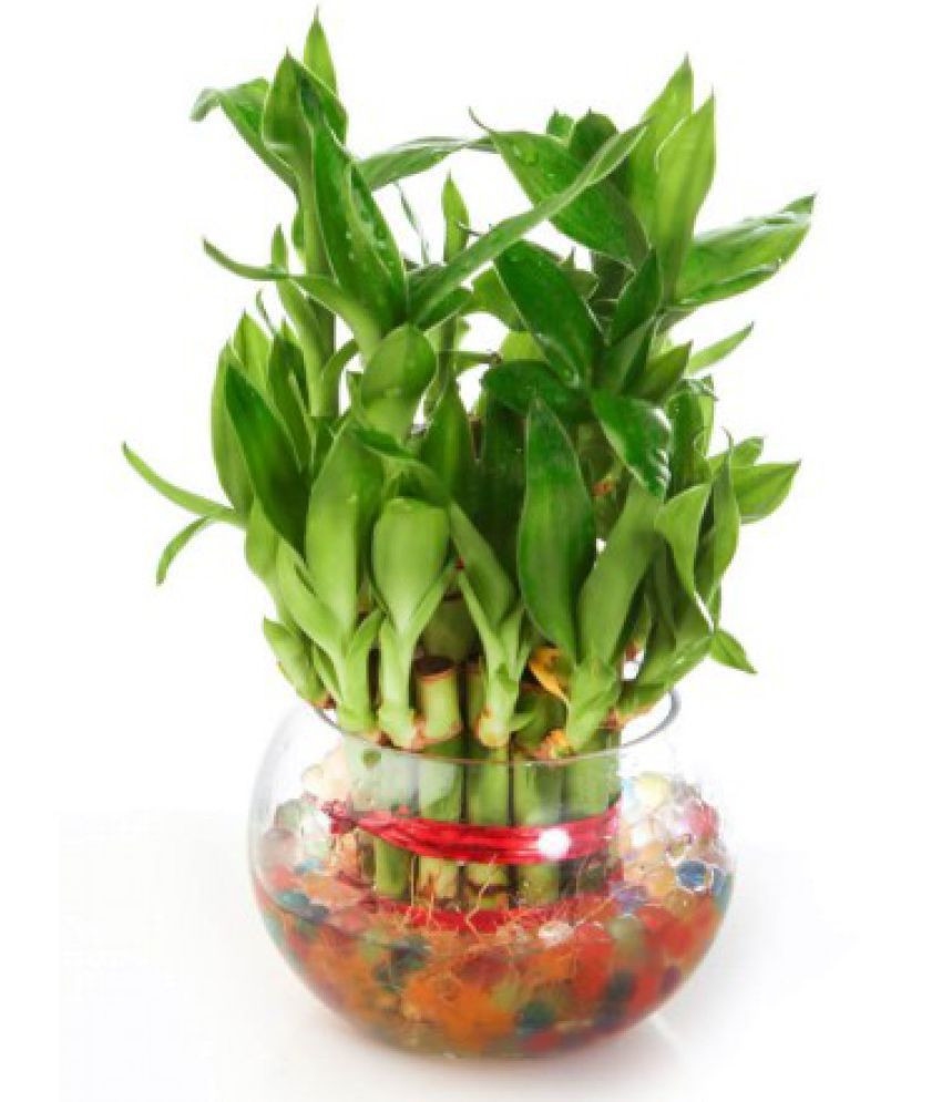 blue bamboo vase of green plant indoor 2 layer lucky bamboo plants indoor bamboo plant intended for green plant indoor 2 layer lucky bamboo plants indoor bamboo plant