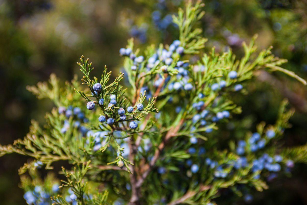 blue vase juniper of juniper plants for zone 8 how to care for zone 8 juniper bushes in zone 8 juniper