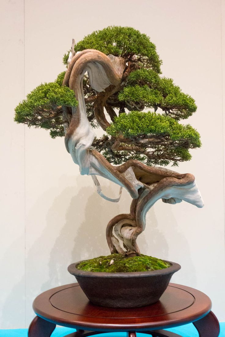 bonsai tree vase of 103 best bonsai images on pinterest bonsai trees plants and for chinese juniper just look at the trunk of this tree isnt the color something the way it twists and turns makes the colors so beautiful