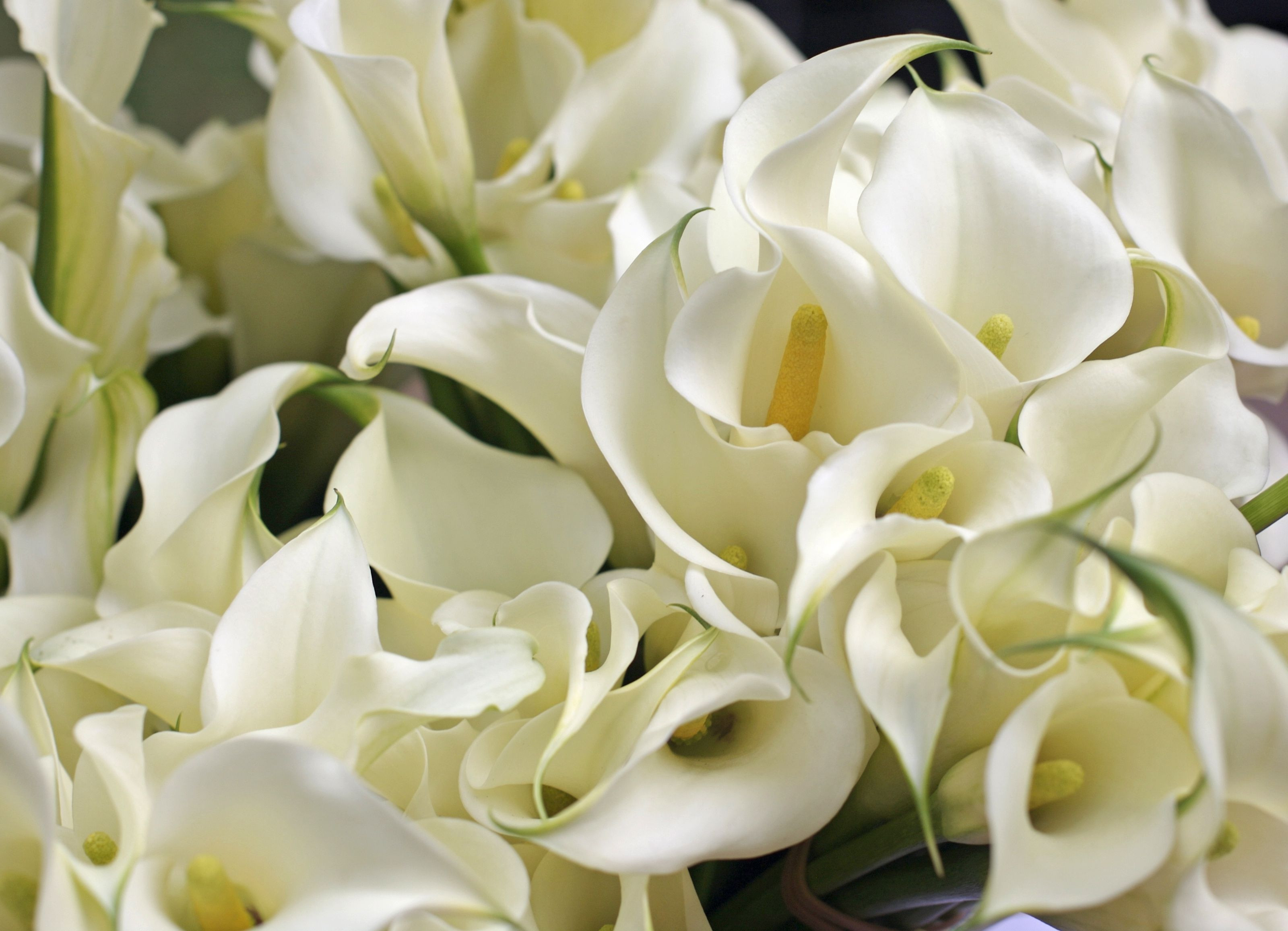 Bulb forcing Vases wholesale Of Growing and Care Of Indoor Calla Lily Indoors with Calla Lillies 118212201 58ed384a3df78cd3fce5a363