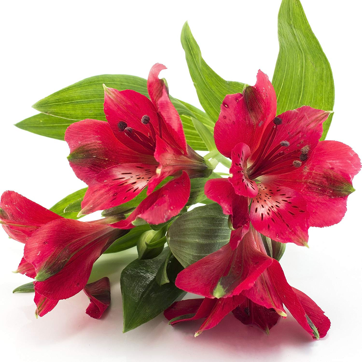 caterpillar bud vase of amazon com red alstroemeria kate peruvian lily princess lily in amazon com red alstroemeria kate peruvian lily princess lily 1 lush blooming size plant in 4 container ships from easy to grow tm garden