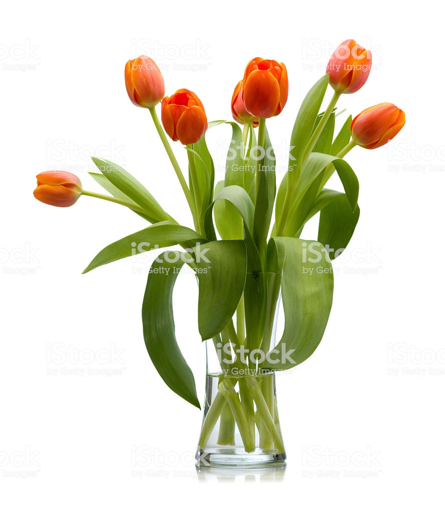 clear glass tulip vase of seven red orange fresh cut tulips in glass vase isolated stock photo within seven red orange fresh cut tulips in glass vase isolated royalty free stock photo