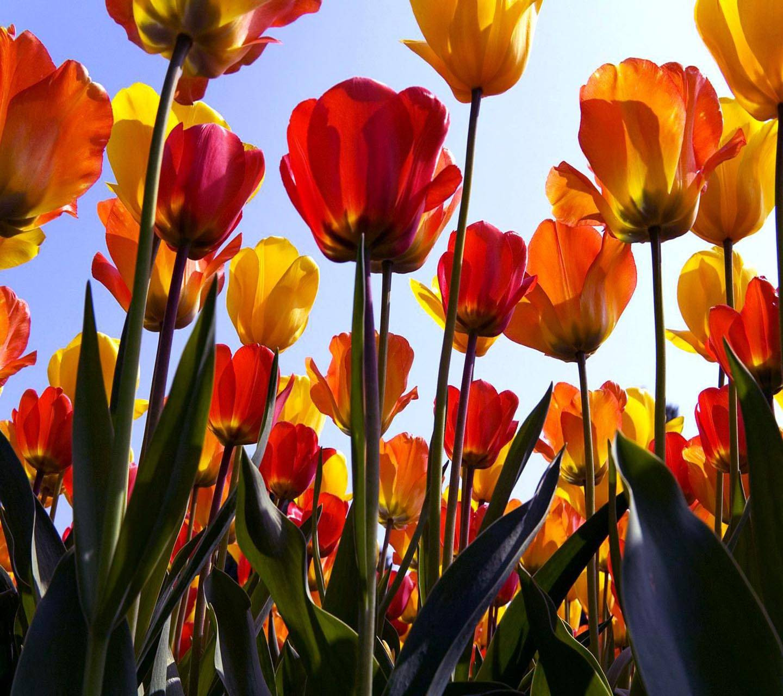 dutch tulip vase of elegant tulip pictures yepigames me inside tulips field wp