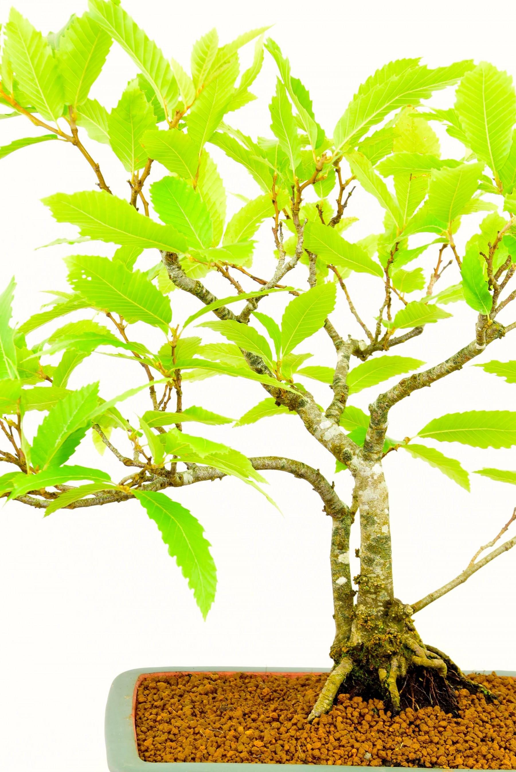 extra large oriental vases of beautiful specimen sweet chestnut bonsai tree castanea sativa with extra large beautiful specimen sweet chestnut bonsai tree castanea sativa in oriental pot 30