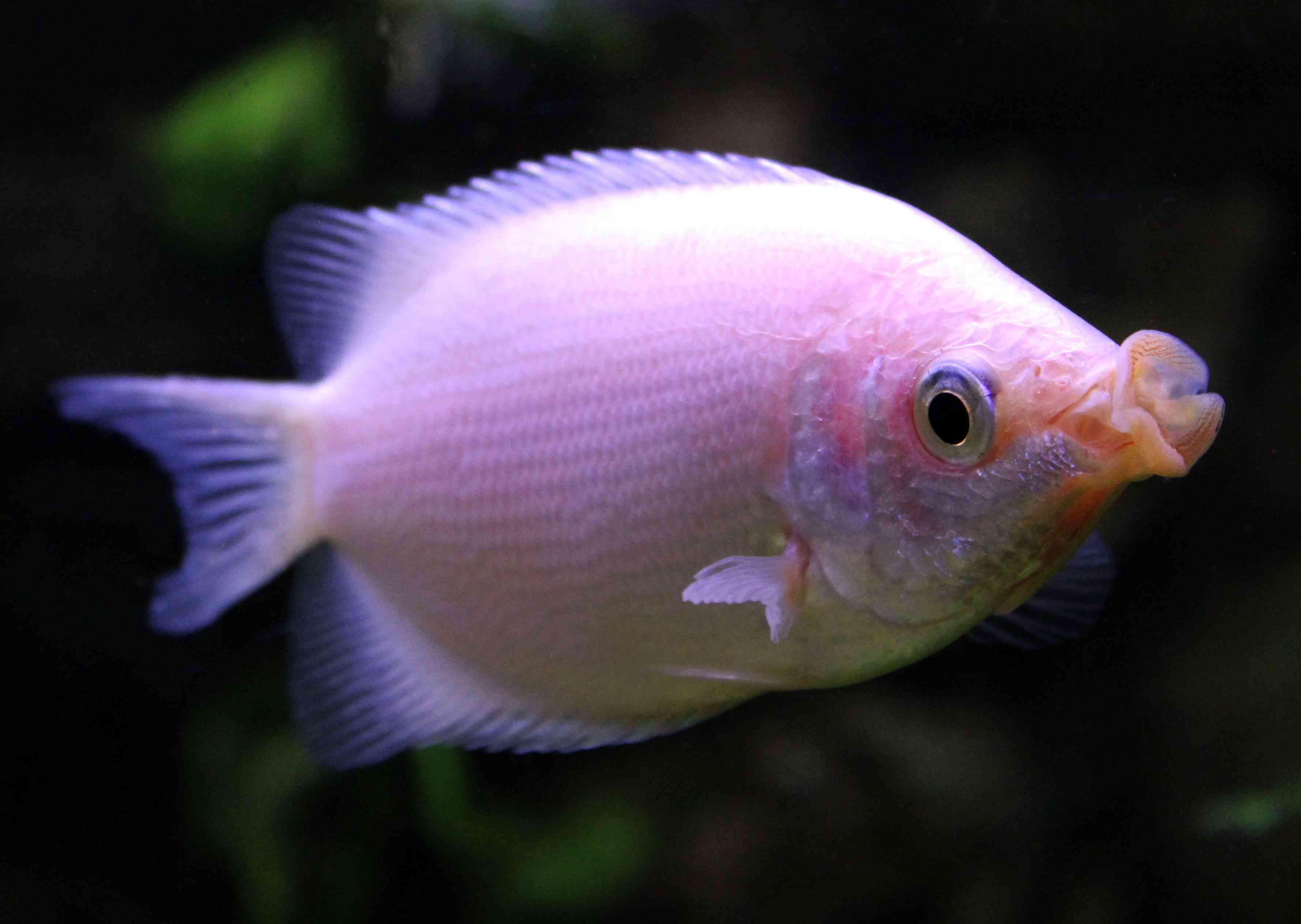giant fish bowl vase of popular aquarium fish profiles inside anabantoidei bettas and gouramis