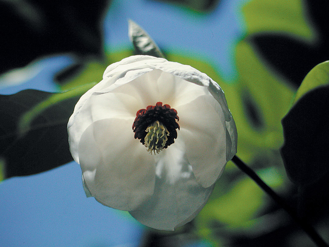 green vase zelkova for sale of pacific horticulture society great plant picks trees for 2007 inside a pendant flower of wilsons magnolia magnolia wilsonii photograph courtesy great plant picks