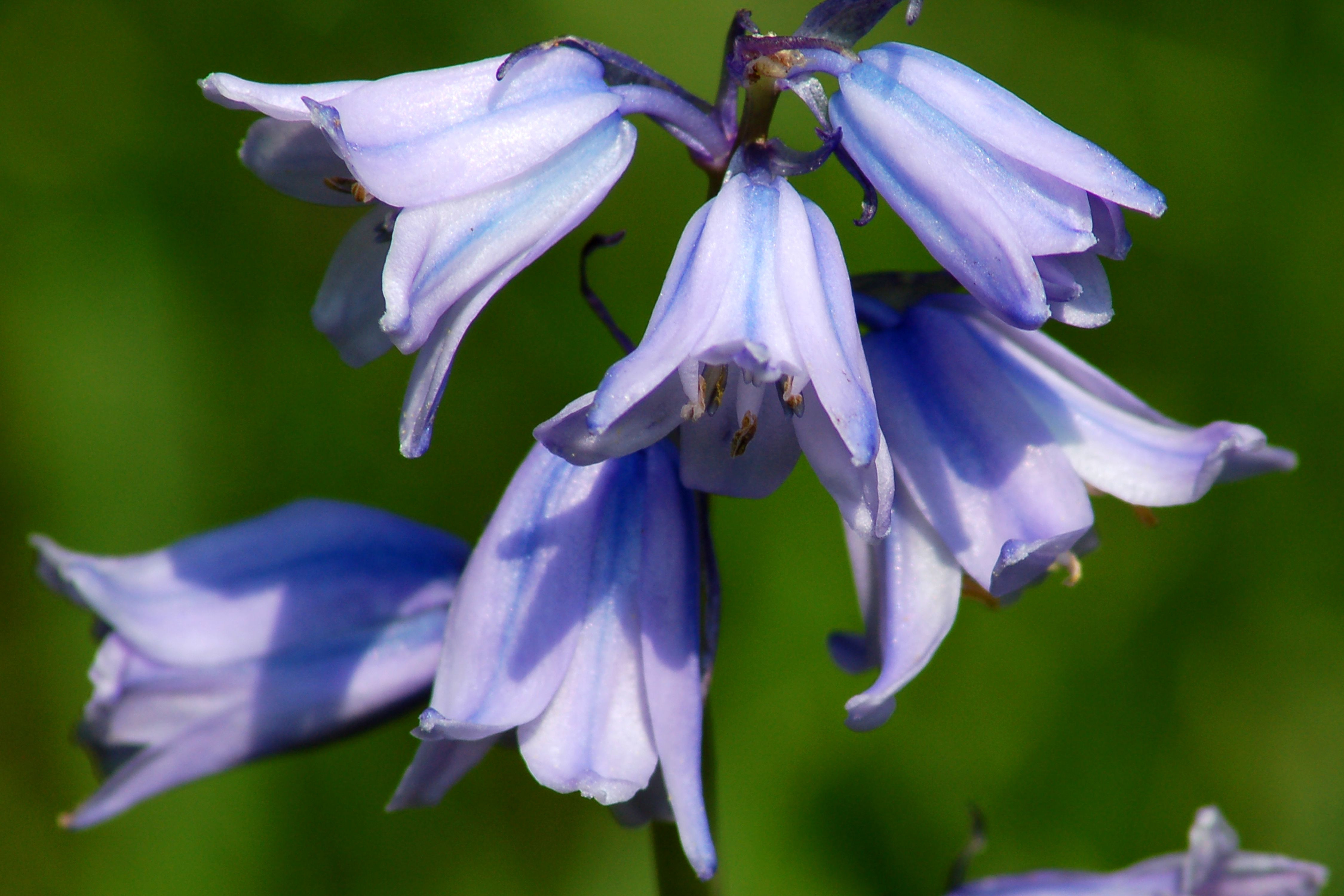 grow bulbs in glass vase of growing spanish bluebells a late blooming spring bulb regarding blue spanish bluebell big 56a584d35f9b58b7d0dd419c
