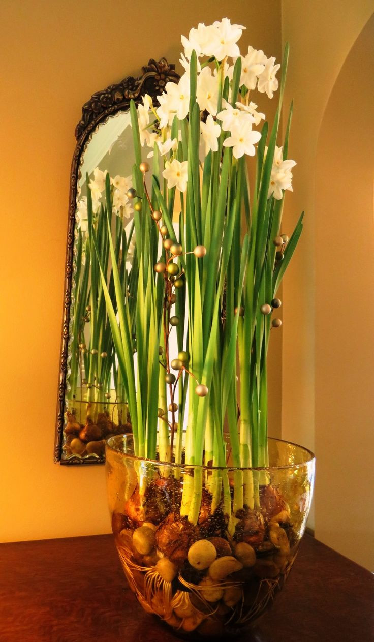 growing bulbs in vases of 54 best bulb obsession images on pinterest indoor plants throughout paperwhite bulbs after 4 and a half weeks