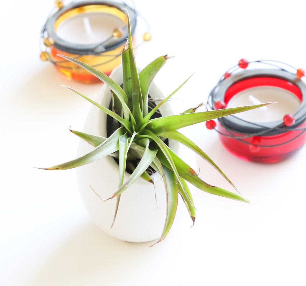 growing bulbs in vases of air plant holder tillandsia ionantha tillandsia vase easy to intended for tillandsia air plant egg tillandsia brachycaulos free shipping