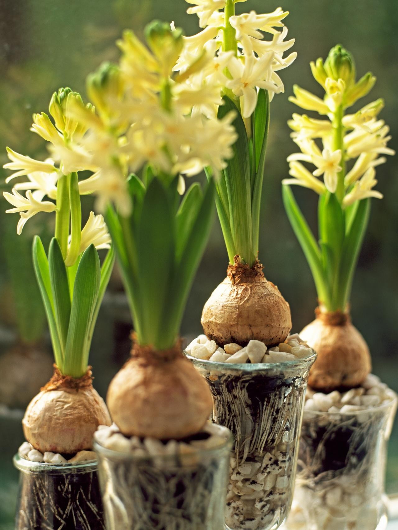 growing bulbs in vases of lovely tips on how force flower bulbs doyanqq me with regard to planting and growing bulbs home garden tips