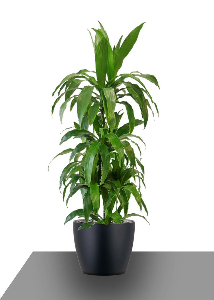 house plant vase of the lisa cane derives its elegance from its long deep green strap regarding the lisa cane derives its elegance from its long deep green strap shaped leaves landscaping plants