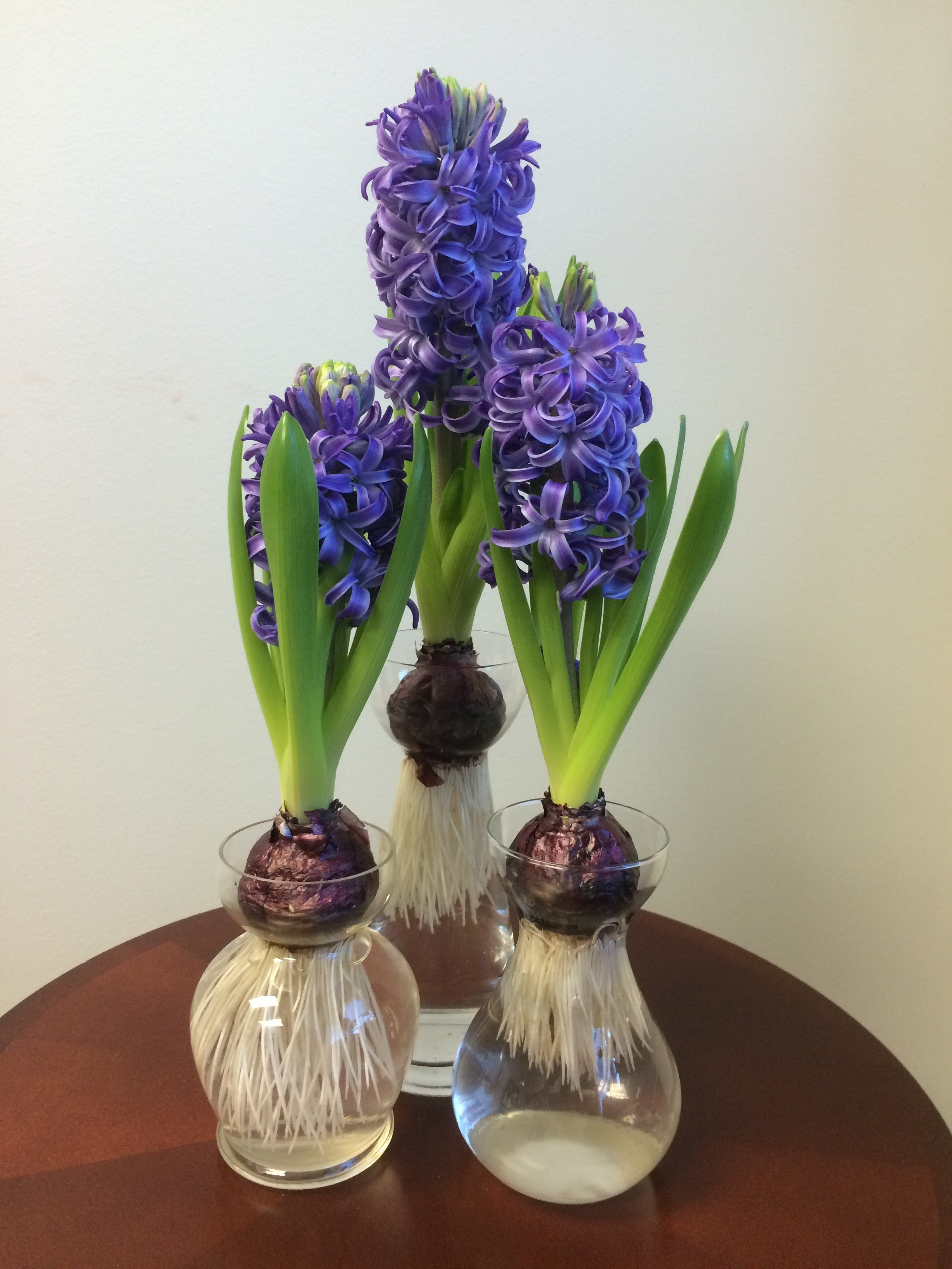 Hyacinth forcing Vase Of forcing Hyacinths Archives Pegplant Regarding Hyacinth Blue Pearl In forcing Vases