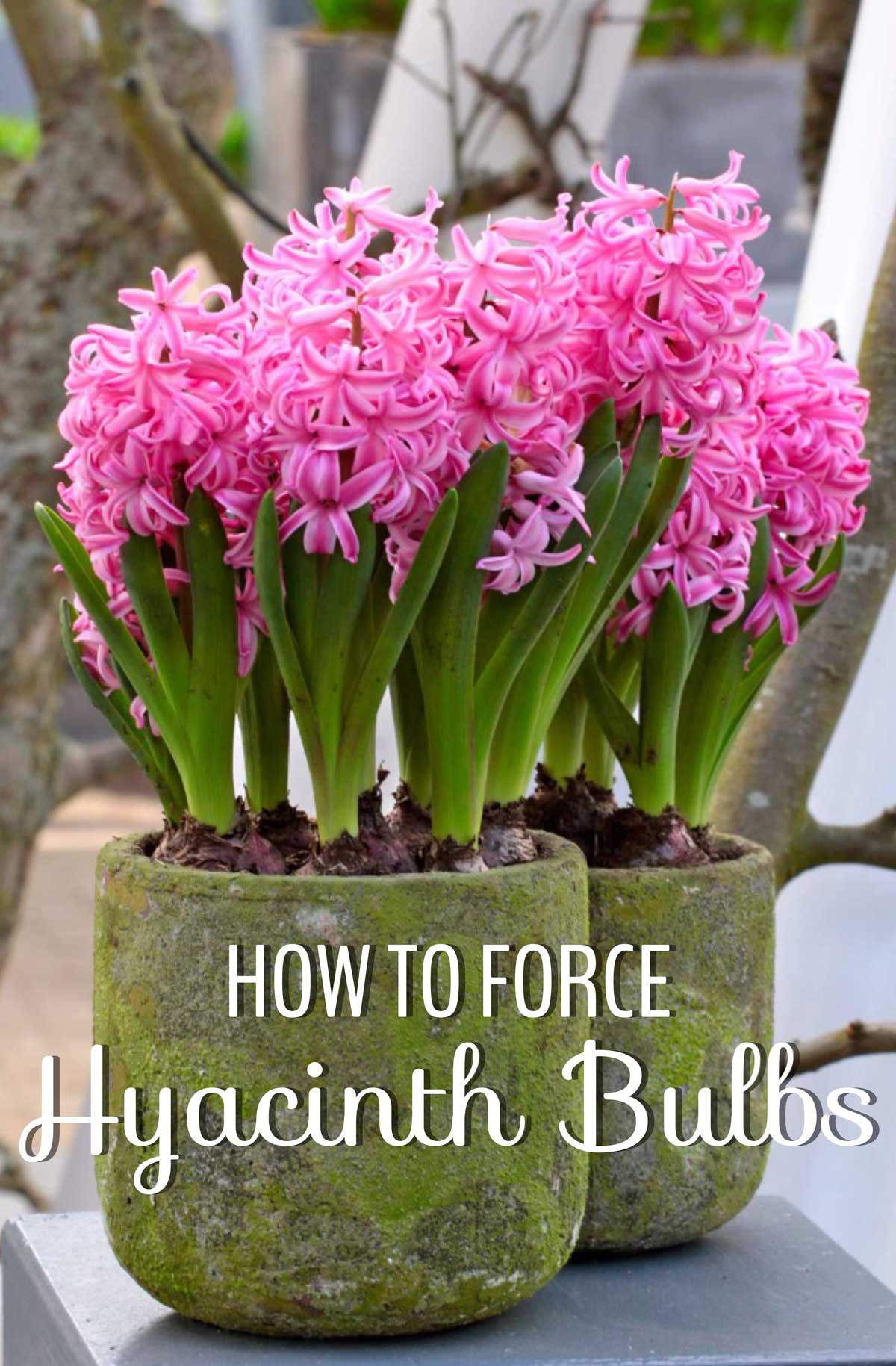 hyacinth forcing vase of how to force hyacinth bulbs for indoor flowers longfield gardens pertaining to how to force hyacinth bulbs for indoor flowers longfield gardens