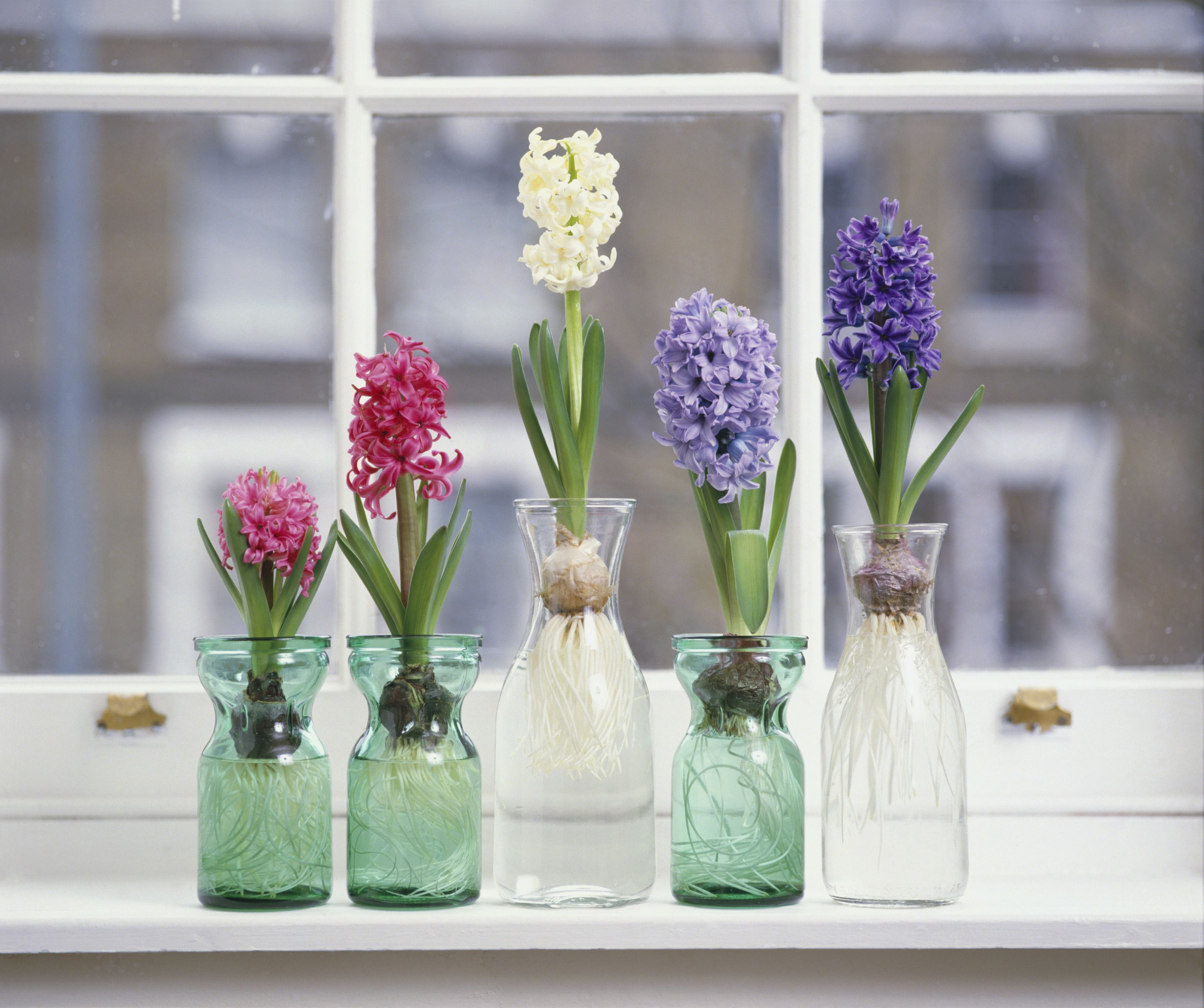 hyacinth forcing vase of how to grow hyacinth flowers indoors regarding pink white and purple hyacinthus plants with bulbs in glass jars on window sill 125157739 57c5b8f73df78cc16ead76eb