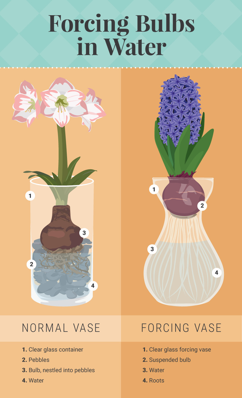 hyacinth forcing vase of make bulbs bloom earlier by forcing them fix com regarding forcing bulbs in water forcing bulbs