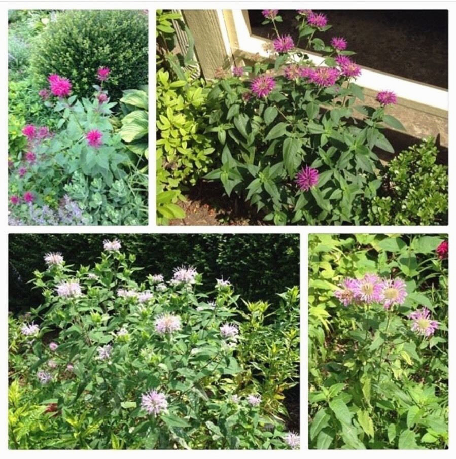 lightbulb bud vase of awesome jar flower 1h vases bud wedding vase centerpiece idea i 0d in lovely 5 bare root bee balm monarda mix live plants oswego wild bergamot of awesome jar