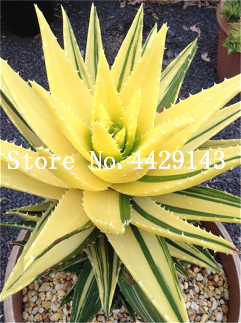 lucky bamboo vase of 150 pcs aloe vera bonsai succulent lucky aloe plants indoor plant regarding 150 pcs aloe vera bonsai succulent lucky aloe plants indoor plant bonsai edible beauty fruit vegeable pot plant easy grow in bonsai from home garden on