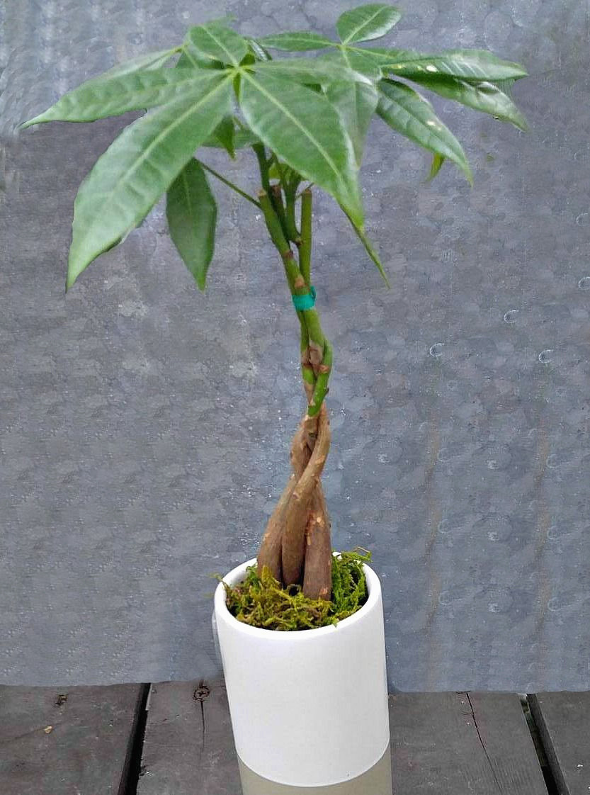 money plant in vase of 7 beautiful money plant flower images best roses flower intended for unique braided money tree plant a symbol of luck and prosperity of 7 beautiful money plant