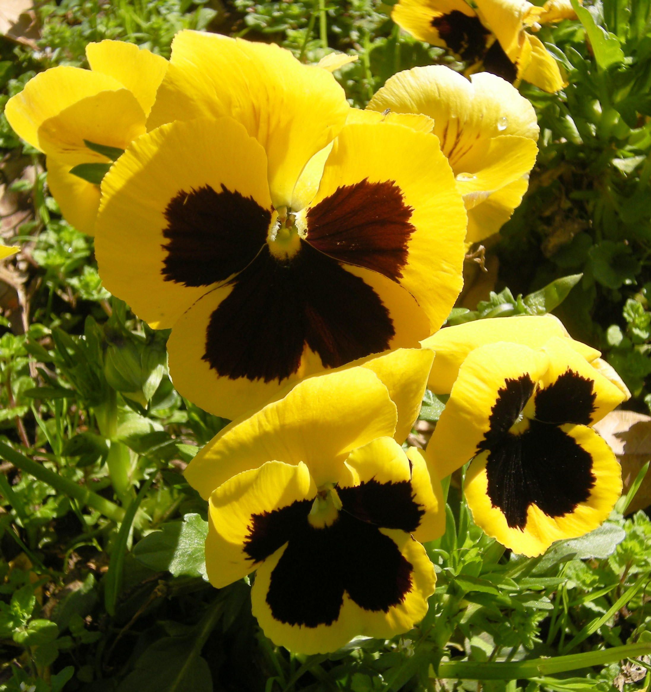 pansy flower ring vase of flowers thetreasuresofnatures blog intended for the pansy must be harvested when blooming in spring the parts used for medicinal purposes are the flowers when harvested it must be cut close to the
