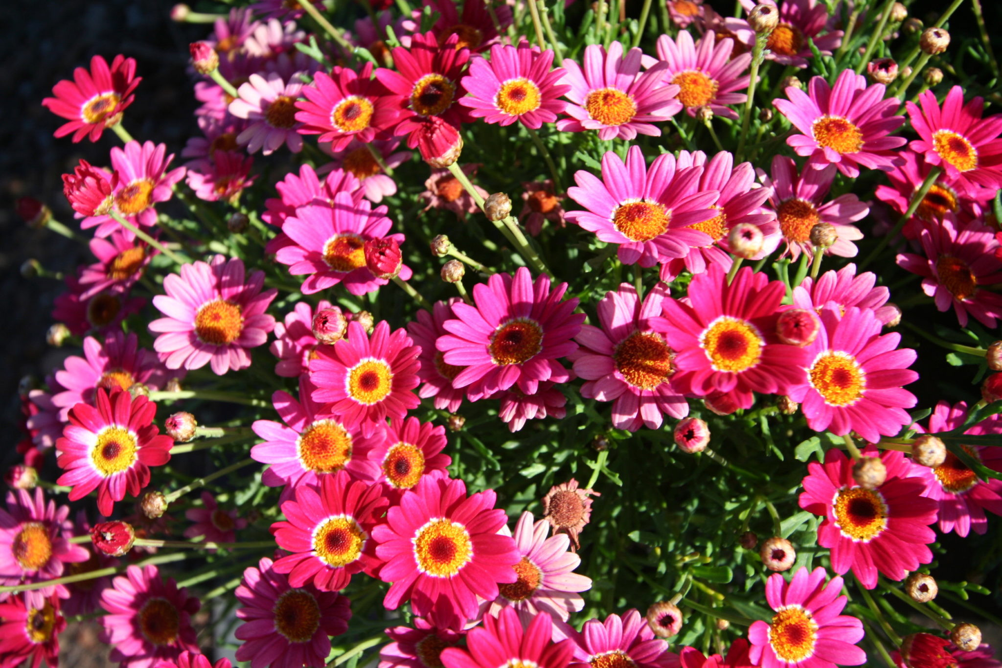 pansy flower ring vase of plants frequently asked plant related questions for argyranthemum angelic