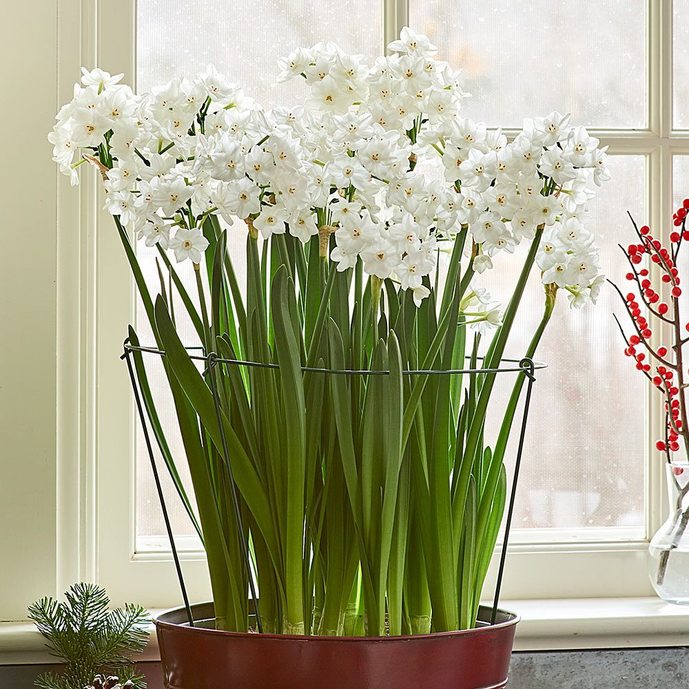 paperwhite bulb vase of paperwhite stem supports white flower farm for paperwhite stem supports