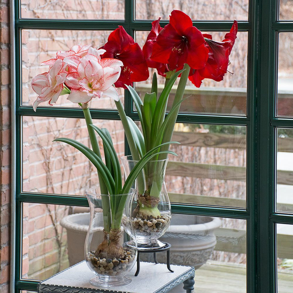 Paperwhite Bulb Vase Of Wintertime Flower Show Two Bulbs In Glass Vases White Flower Farm within Wintertime Flower Show Two Bulbs In 11a½ Glass Vases