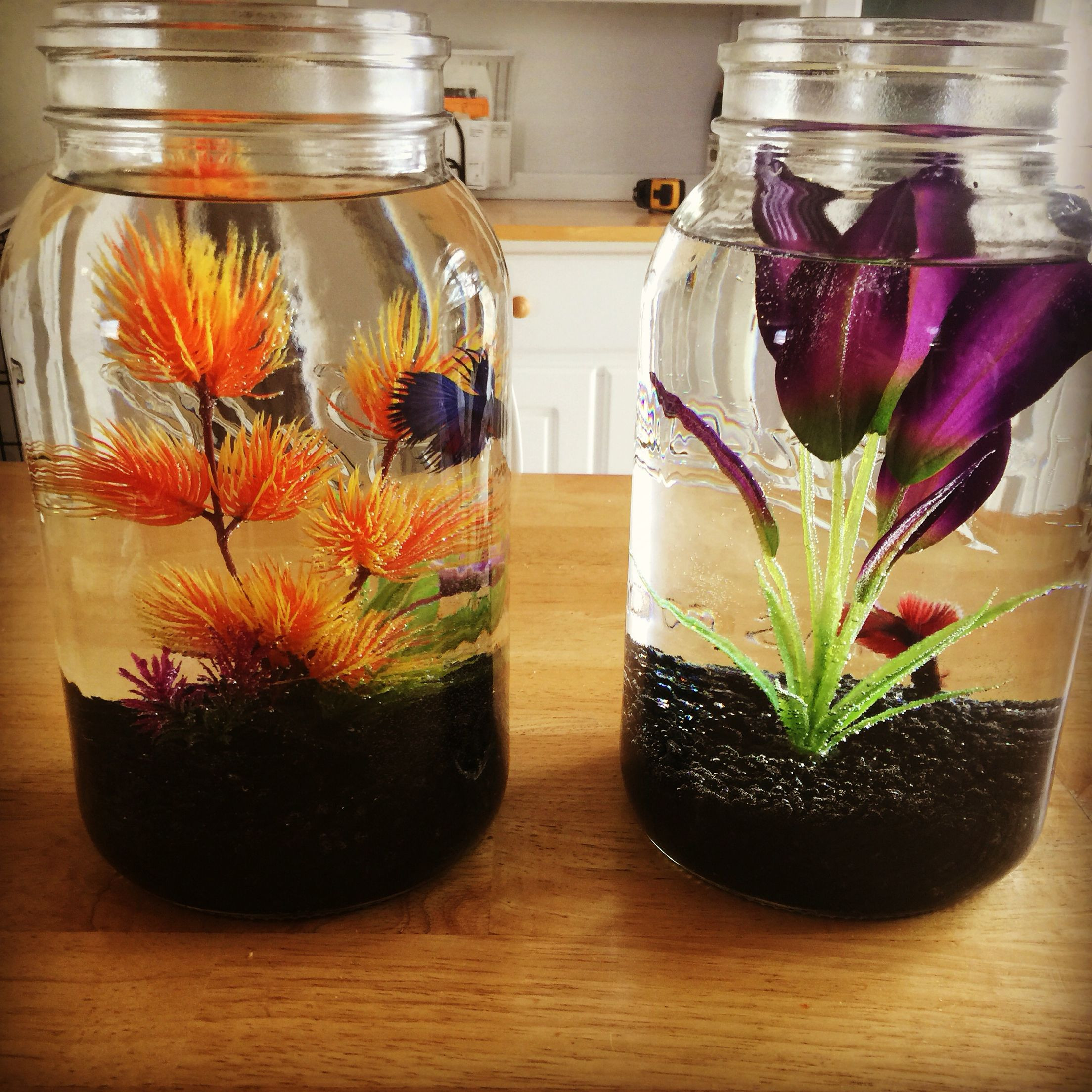 plant vase fish tank of betta fish facts diy pet stuff pinterest fish fish tank and intended for beta fish bowl ideas gal size mason jars