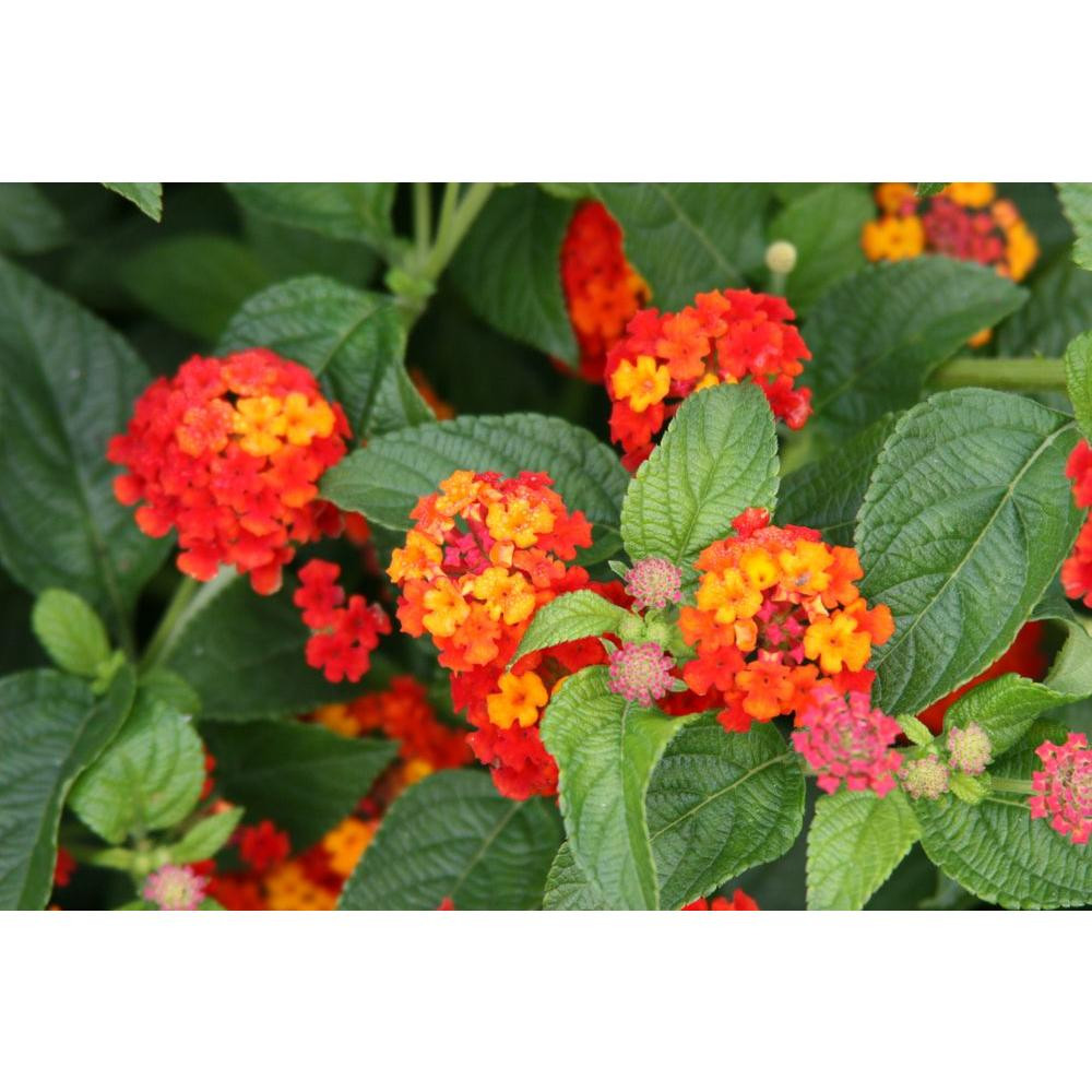 plant vase home depot of orange annuals garden plants flowers the home depot intended for luscious citrus blend lantana live plant red orange and yellow flowers
