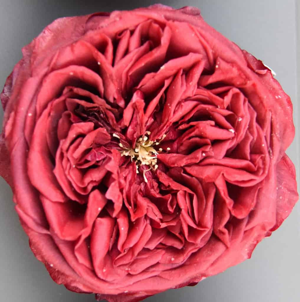 ruby red bud vase of mayesh wholesale florist april 2 2018 intended for freeze dried garden rose tess