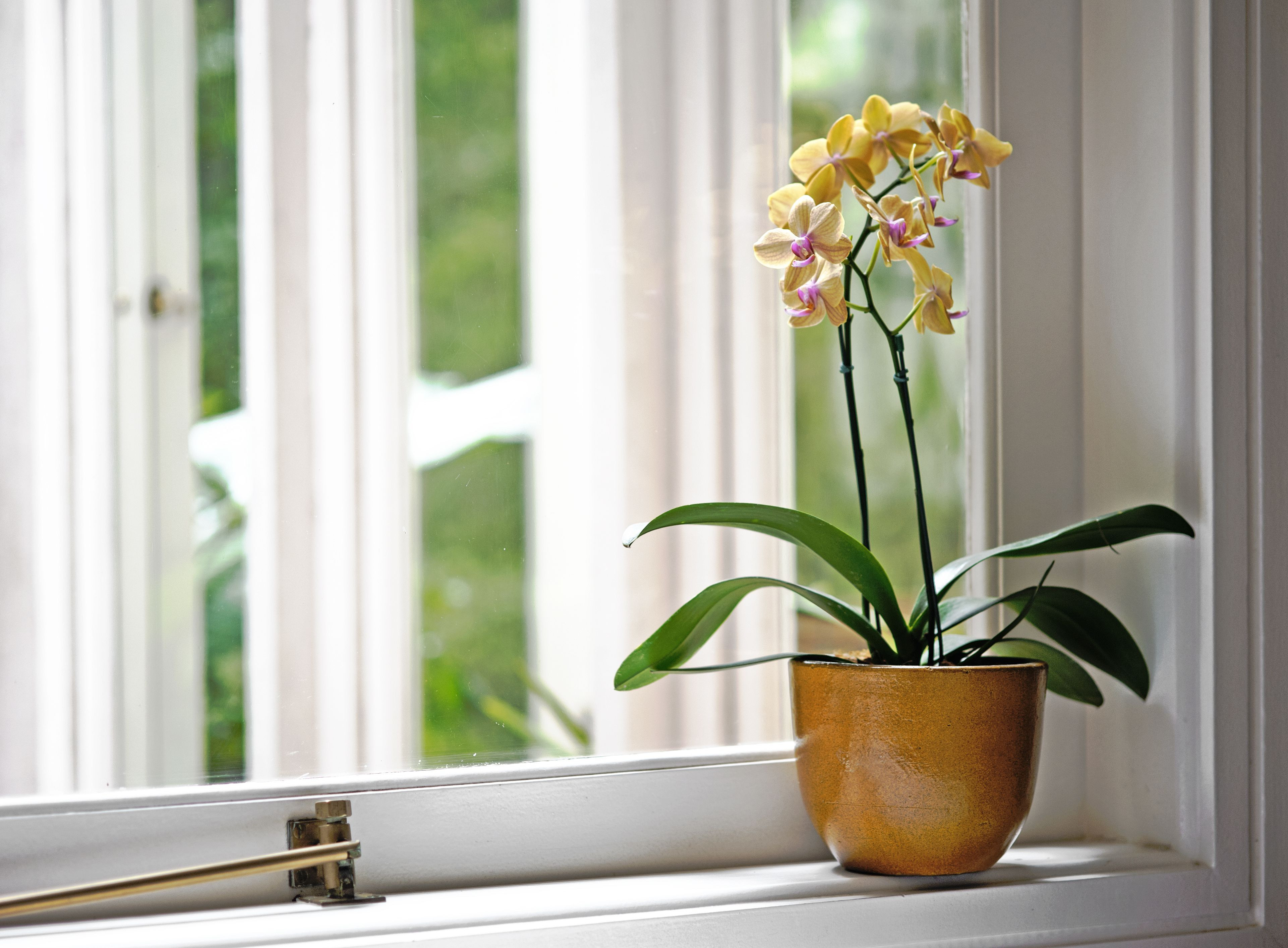 14 Fantastic Silver Vase orchid Care 2021 free download silver vase orchid care of how to cure orchid scale in yellow orchid in a yellow vase by the window 693426690 5af876153128340037c6ebc3