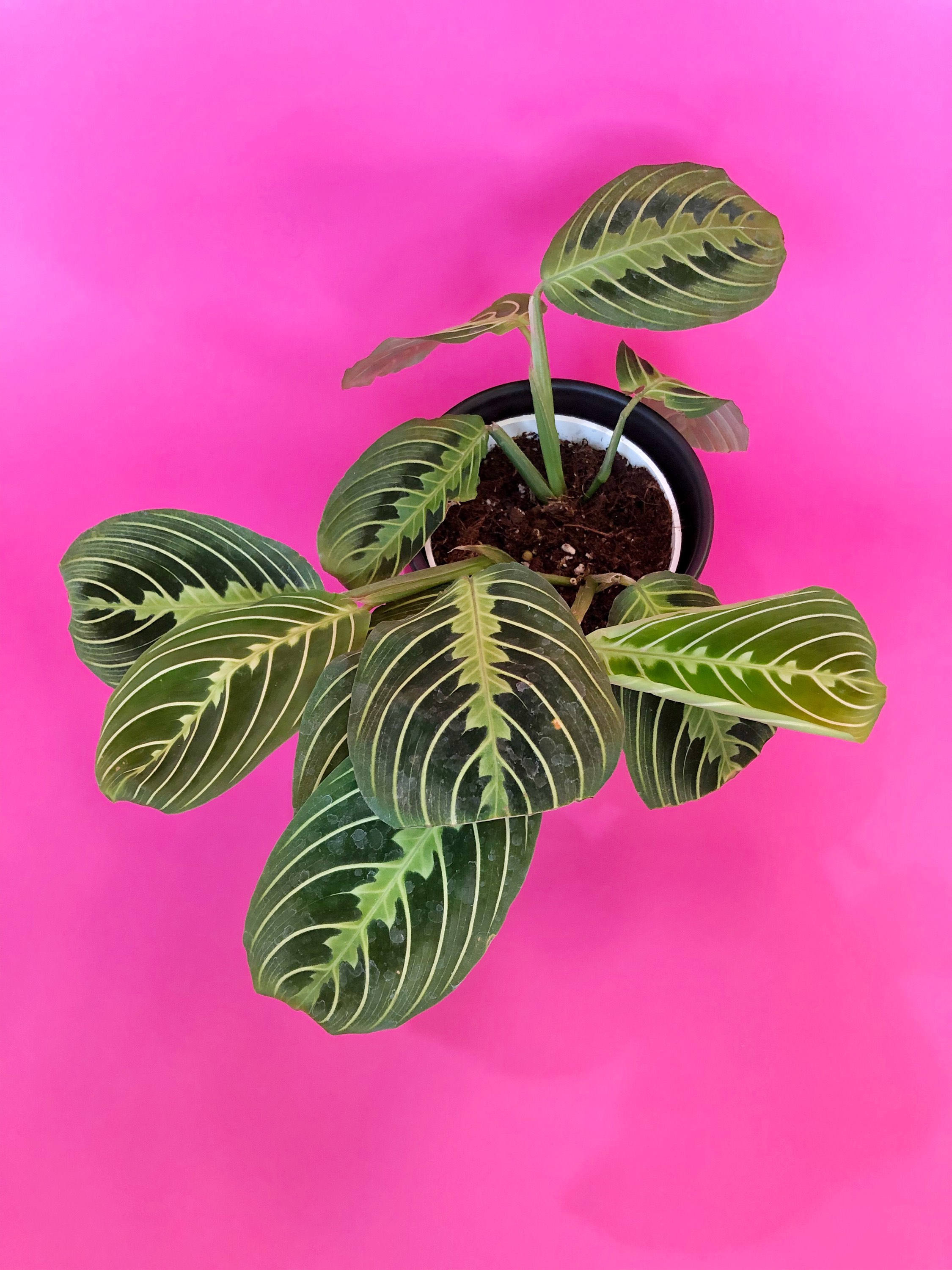 silver vase orchid care of maranta lemon suprise prayer plant 4 growers pot easy in dc29fc294c28ezoom