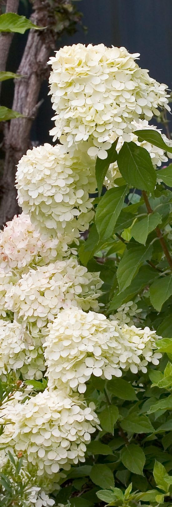 single hydrangea in vase of 398 best hydrangeas images on pinterest hydrangeas beautiful inside must have in a white garden hydrangea paniculata