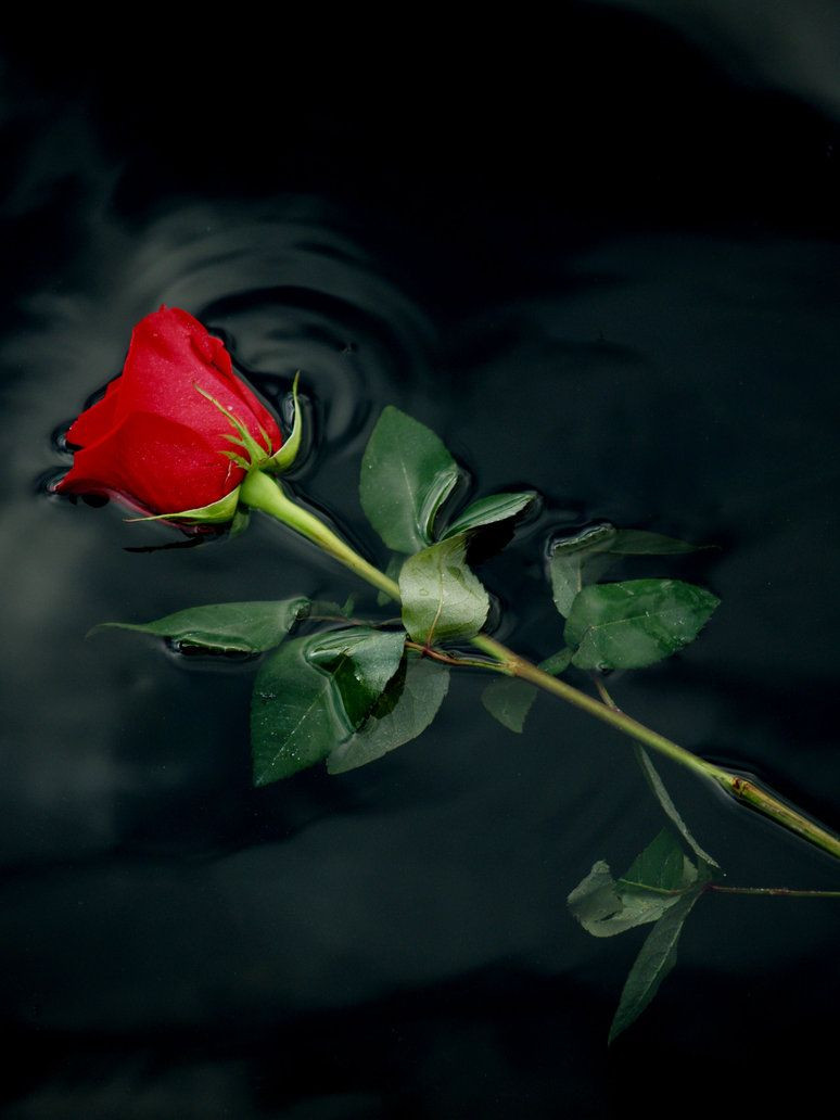 Single Rose Bud Vase Of Red Rose 1 by Claforce AœaŠ± One Word is Closed Pinterest Red Intended for Red Rose 1 by Claforce Single Rose Rose Queen Beautiful Flowers Beautiful Gardens