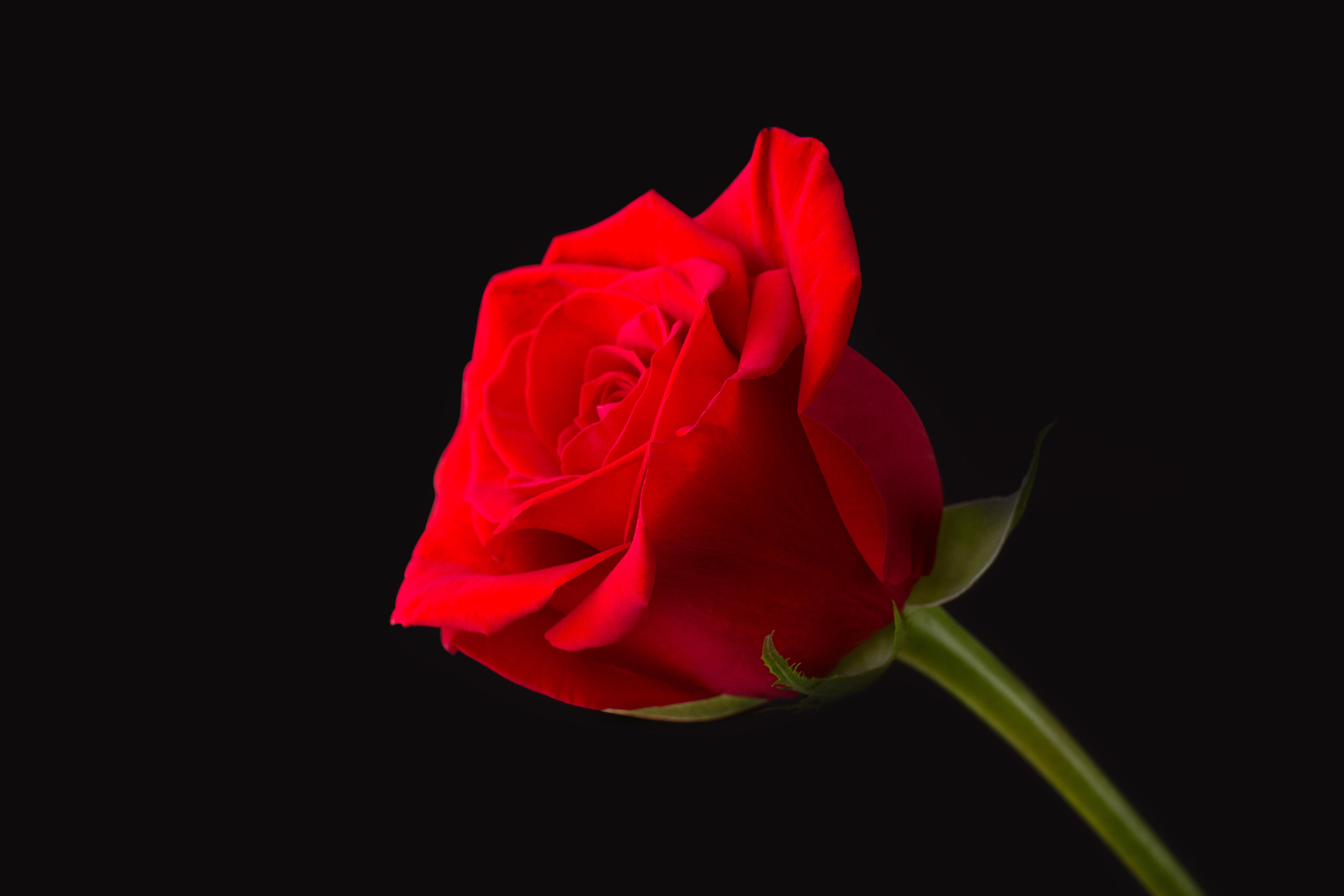 Single Rose Glass Vase Of the Beasts Enchanted Rose Lasted A Decade How Long Can A Real One for Rose
