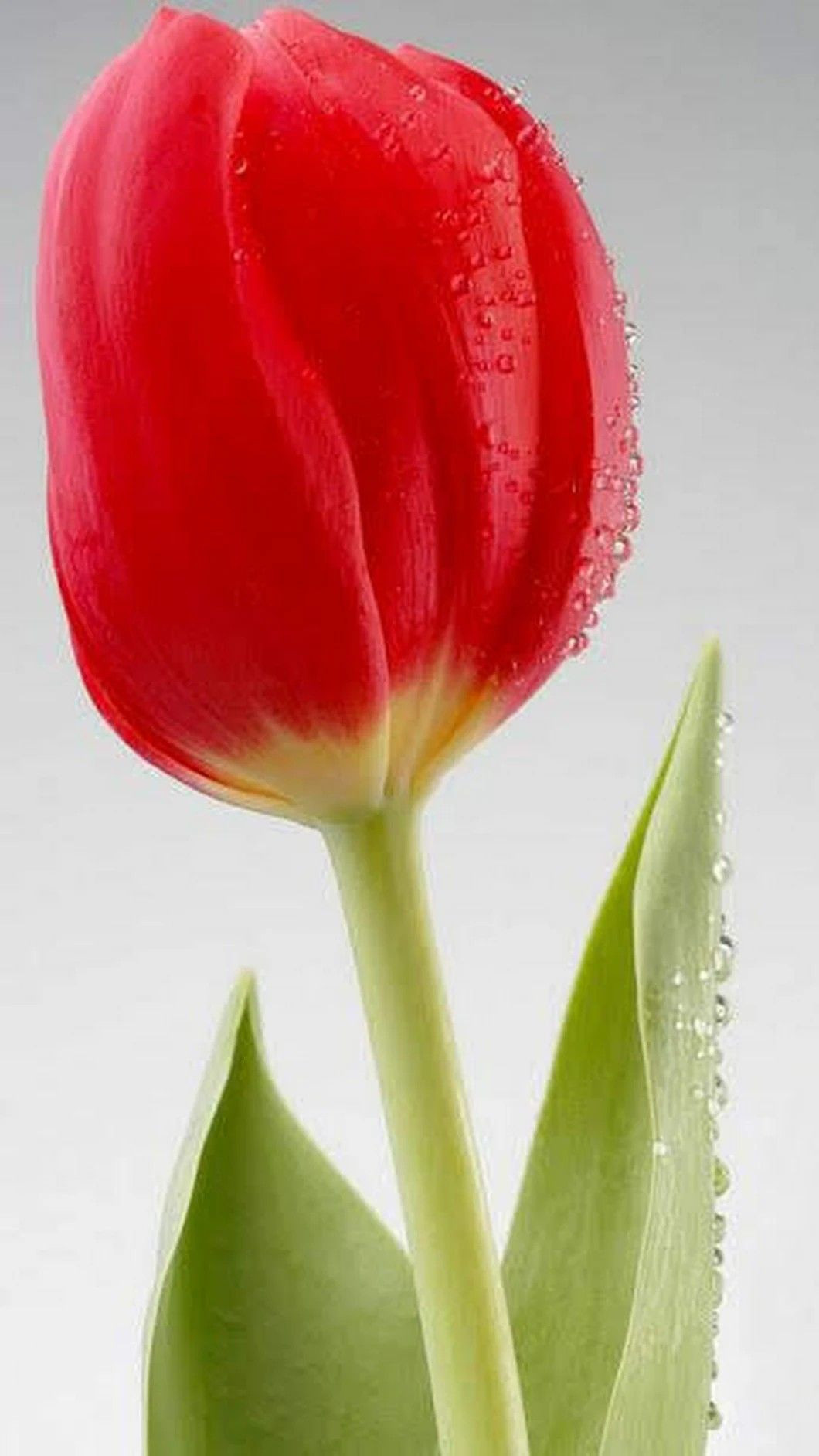 Tulip Vase Amsterdam Of Pin by Siddoo Patil On A²a²¨a³‹a²¹a² A²¨a²a²¸a²a³a²— In 2018 Pinterest with Regard to Red Tulips Red Flowers Spring Flowers Pretty Flowers Pink Roses Red