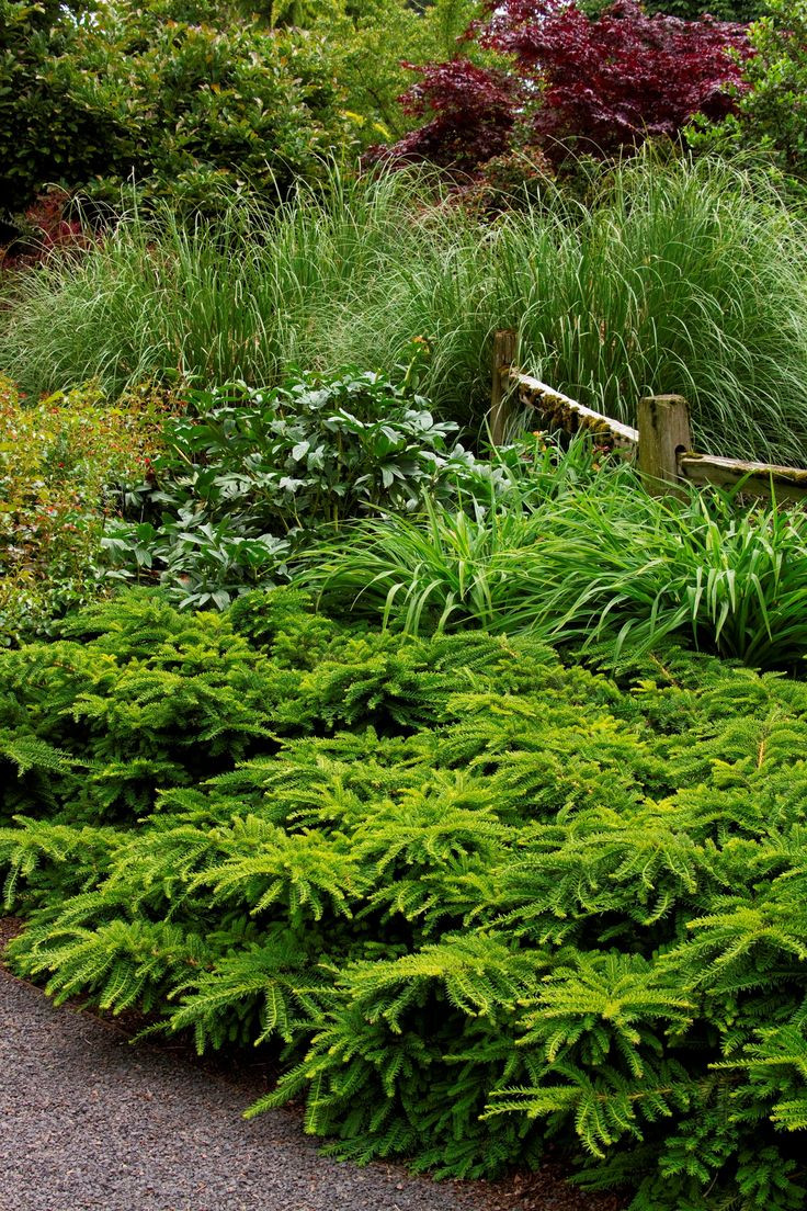 vase shaped evergreen shrubs of 35 best stones lane images on pinterest flowers garden gardening in this exceptional cold hardy evergreen shrub is a perfect low maintenance choice for ground cover large scale borders or low hedge