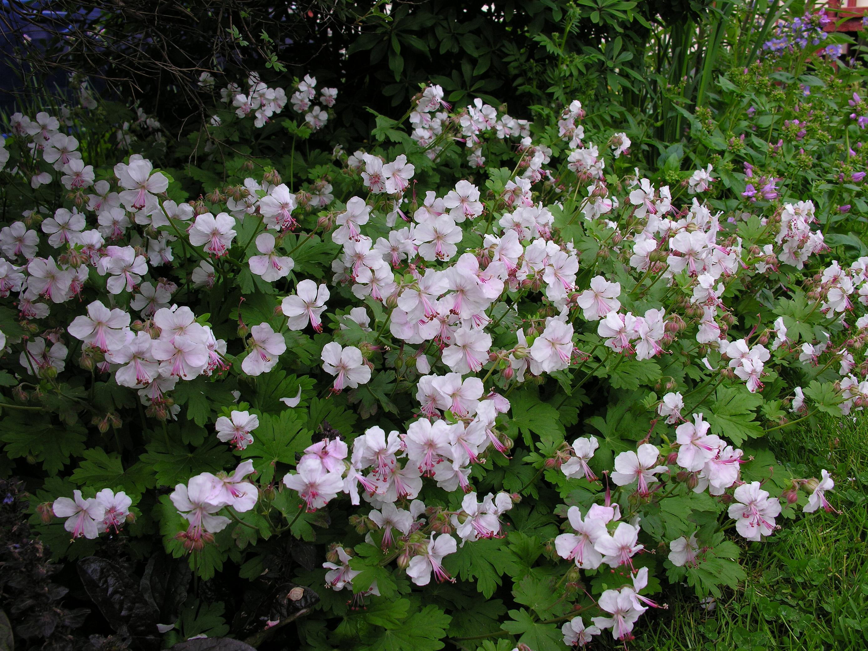 vase shaped evergreen shrubs of fafardspring archives fafard inside geranium x catabrigense biokova1