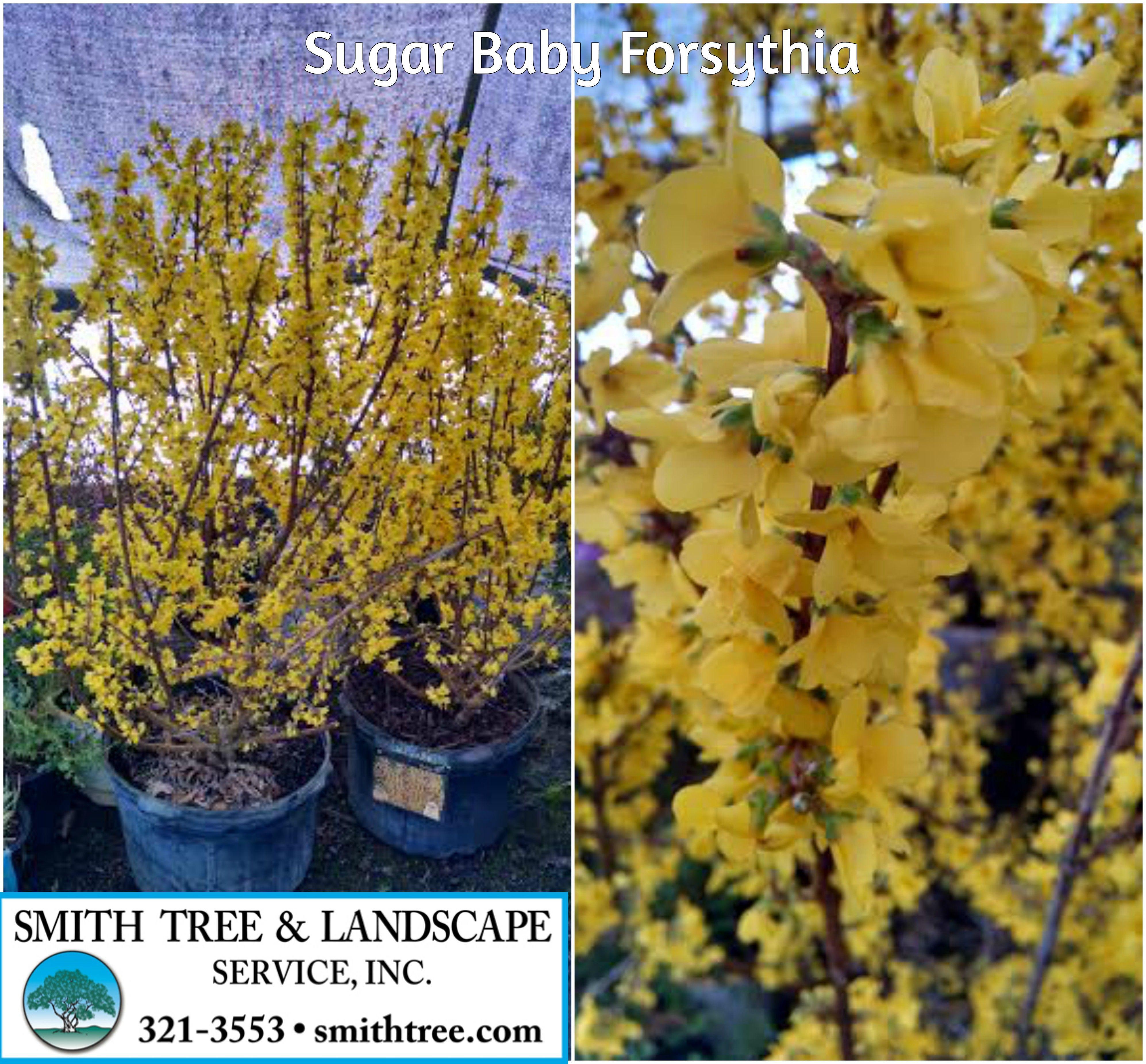 vase shaped trees of forsythia show off sugar baby sugar baby forsythia 3 4 with intended for forsythia show off sugar baby sugar baby forsythia 3 4
