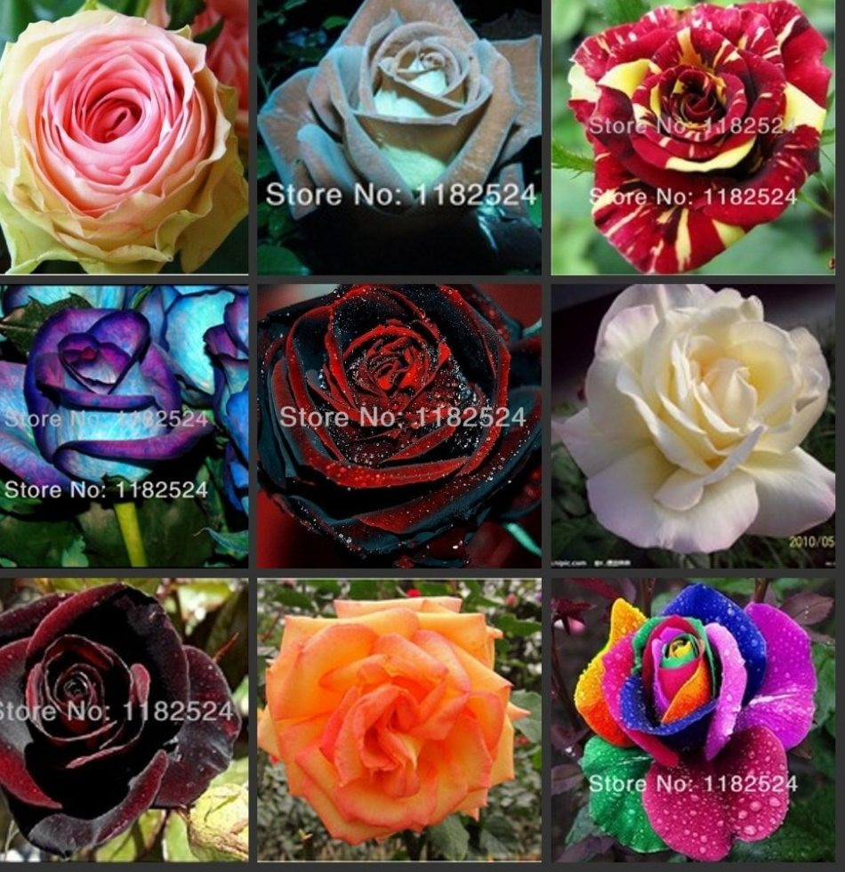 vincent van gogh vase with red poppies of a—— 100pcs 24 colors fresh rare rose seeds bonsai flower plant pertaining to 100pcs 24 colors fresh rare rose seeds bonsai flower plant seeds