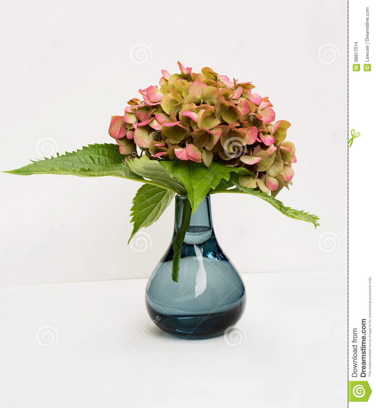 White Hydrangea Arrangement In Glass Vase Of Hydrangea In Blue Vase Stock Photo Image Of Blooming 98817014 Inside Large Pink and Green Hydrangea Blossom In Blue Vase On White Background
