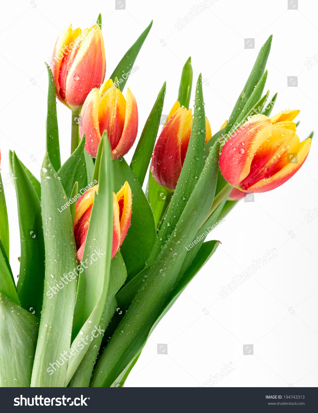 White Tulips In Glass Vase Of Bouquet Od Beautiful Tulips Vertical Ez Canvas within Stock Photo Tulips On White Background 194743313